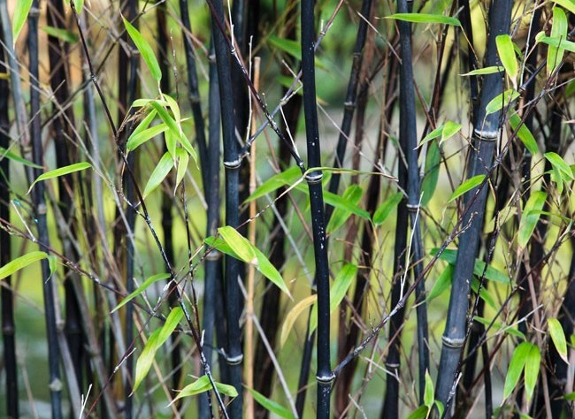 Bambous Et Graminees Magasin De Plantes Et Arbres Sur